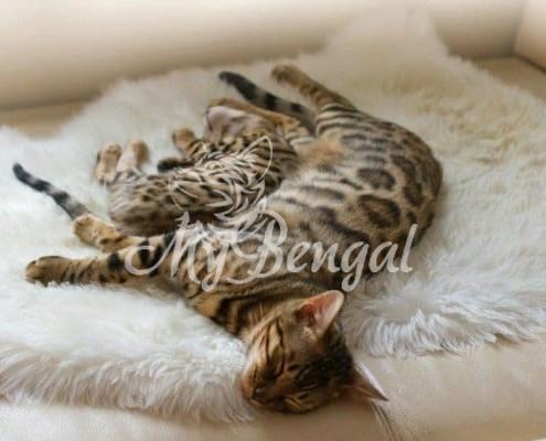 I gatti del Bengala sono anallergici?