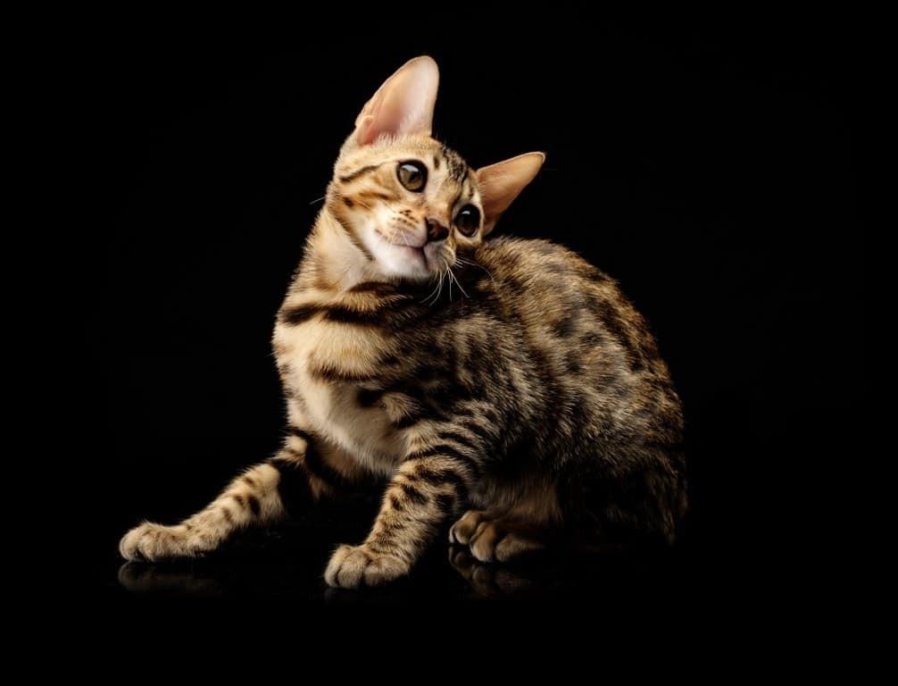 Cucciolo gatto Bengalese