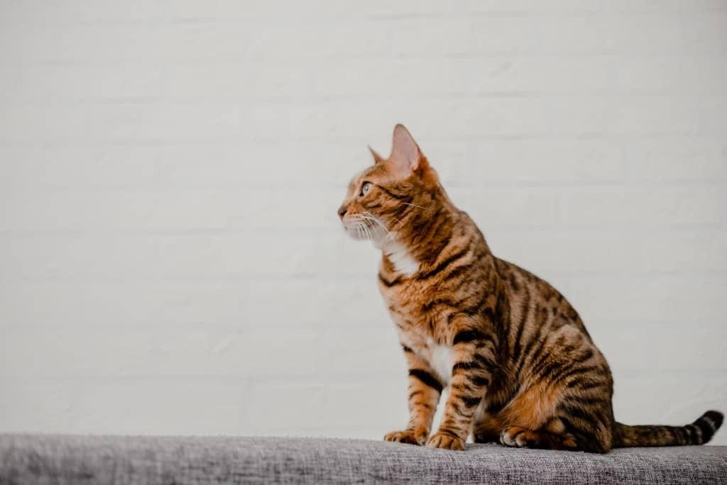Gatto Bengala cuccioli