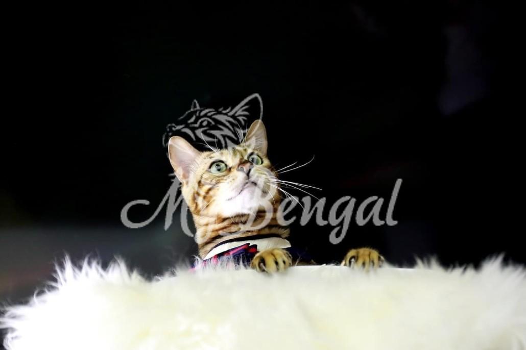 Prezzo di un Gatto del Bengala