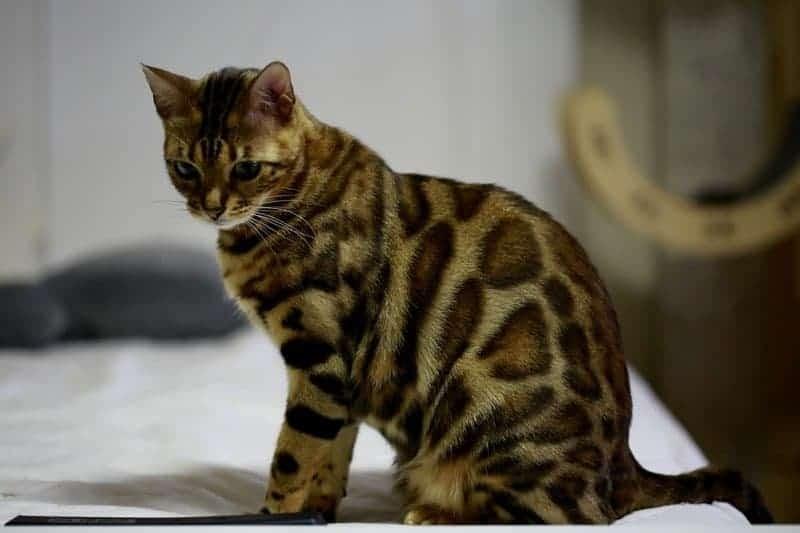 Diabete nel gatto: cause, sintomi e alimentazione