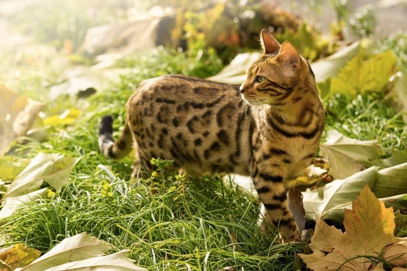 Avvelenamento da vitamina D nei gatti